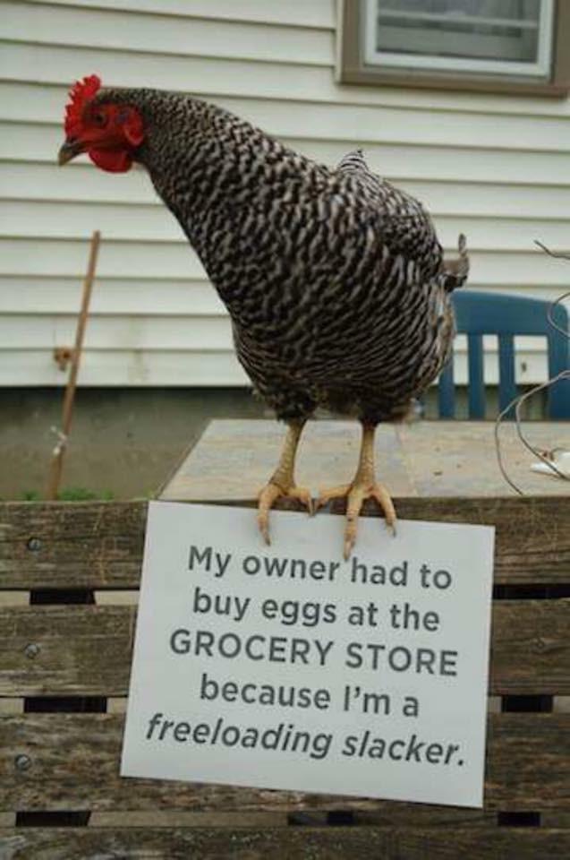 freeloading hen